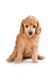 Poodle Medium puppy. Sitting on white background Stock Images