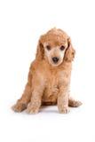Poodle Medium puppy. Sitting on white background stock images