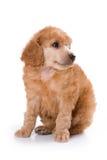 Poodle Medium puppy. Sitting on white background royalty free stock photo