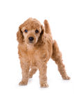 Poodle Medium puppy. Standing on white background royalty free stock images