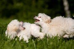 Poodle Miniature Royalty Free Stock Photos