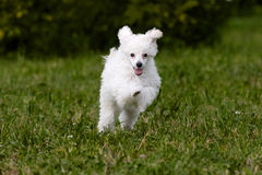 Poodle Miniature Royalty Free Stock Image