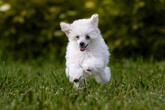 Poodle Miniature Royalty Free Stock Photos