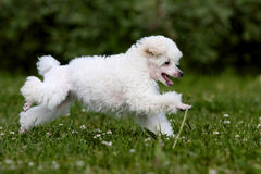 Poodle Miniature Royalty Free Stock Photo