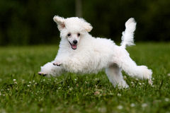 Poodle Miniature Stock Images