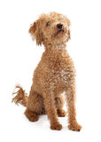 Poodle Mix Golden Color Dog Sitting Stock Image