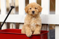 Poodle Mix Puppy Sits in Red Wagon in Front of White Fence Stock Photos
