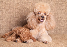 Poodle mother lying near puppy Stock Image