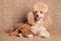 Poodle mother with sleeping puppy Royalty Free Stock Photo
