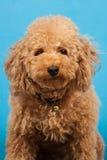 Poodle Mug Shot. A mug shot for a brown toy poodle with curly fur, on a blue background Stock Image