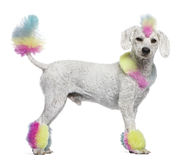 Poodle with multi-colored hair and mohawk. 12 months old, standing in front of white background stock image