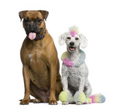 Poodle with multi-colored hair and mohawk Royalty Free Stock Photography
