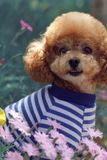 A Poodle named Potato. It is very happy because it has a good family Stock Photo