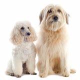 Poodle och pyrenean sheepdog royaltyfri bild