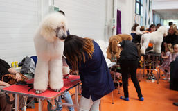 Poodle and  owners at  dog exhibition Stock Photography