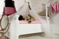 Poodle palace Royalty Free Stock Image