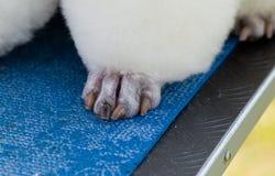 Poodle paw Royalty Free Stock Photo