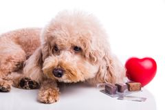 Poodle pet dog with beef chewables for heartworm protection treatment. Poodle pet dog with beef chewables for heartworm protection and treatment on white stock image