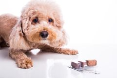 Poodle pet dog with beef chewables for heartworm protection treatment. Poodle pet dog with beef chewables for heartworm protection and treatment on white royalty free stock photography