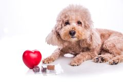 Poodle pet dog with beef chewables for heartworm protection treatment. Poodle pet dog with beef chewables for heartworm protection and treatment on white stock images