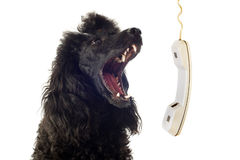 Poodle and phone Royalty Free Stock Photography
