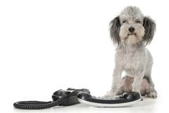 Poodle with Phone Stock Photos