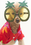 Poodle In Pineapple Sunglasses Stock Photography