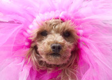 Poodle in Pink Stock Image