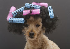 Poodle with Pink and Blue Curlers Stock Photo