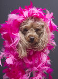 Poodle in Pink Feathers Royalty Free Stock Photography