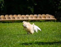 Poodle playing Stock Photos