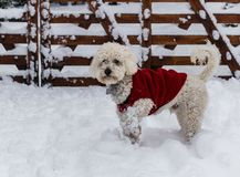 Poodle playing in the snow stock photos