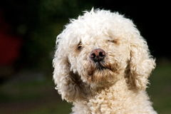 POODLE PORTRAIT Royalty Free Stock Image