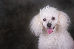 Poodle Portrait Stock Photos