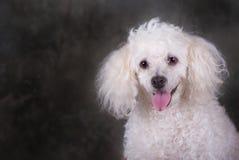 Poodle Portrait. A head and shoulders portrait of a miniature poodle Stock Photos