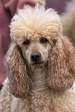 Poodle portrait Stock Photography