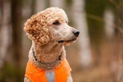Poodle Portrait Stock Photos