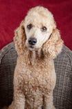Poodle portrait in studio Stock Image