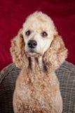 Poodle portrait in studio Royalty Free Stock Photos