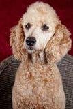 Poodle portrait in studio Stock Images