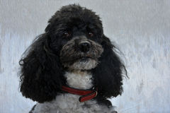 Poodle Stock Photography
