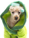 Poodle Primpin Royalty Free Stock Photography