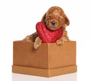 Poodle pup sleeps in a box with a red heart Royalty Free Stock Images