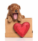 Poodle pup yawns in a box with a red heart Stock Image