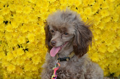 Poodle Pup with Yellow Flowers. Brown poodle pup with yellow flowers Royalty Free Stock Images