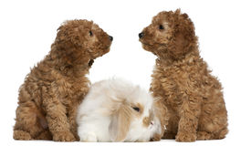 Poodle puppies, 2 months old, and rabbit Stock Images