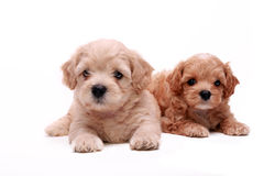 Poodle puppies Royalty Free Stock Photography