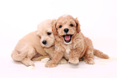 Poodle puppies Royalty Free Stock Image