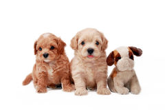 Poodle puppies Royalty Free Stock Images