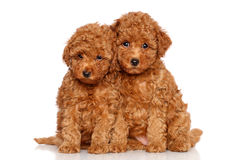 Poodle puppies Stock Image
